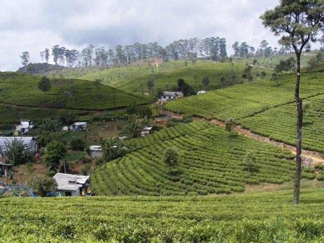 Thé au Sri Lanka